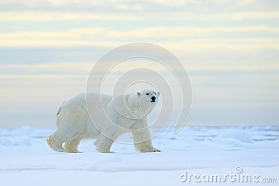 Polar bear on drift ice edge with snow a water in Arctic Svalbard. White animal in the nature habitat, Norway. Wildlife scene from