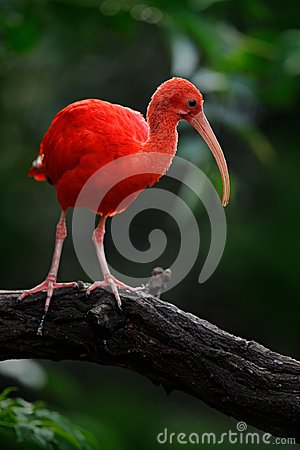 Scarlet Ibis, Eudocimus ruber, exotic red bird, nature habitat, bird sitting on tree branch with evening sun light, during sunset,