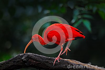 Scarlet Ibis, Eudocimus ruber, exotic bird in the nature habitat, bird sitting on tree branch with evening sun light, during sunse