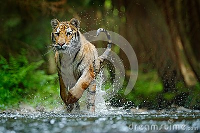 Amur tiger running in water. Danger animal, tajga, Russia. Animal in forest stream. Grey Stone, river droplet. Siberian tiger spla
