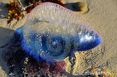 Tropical jellyfish - Physalia physalis
