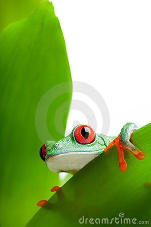 Frog on a leaf isolated white