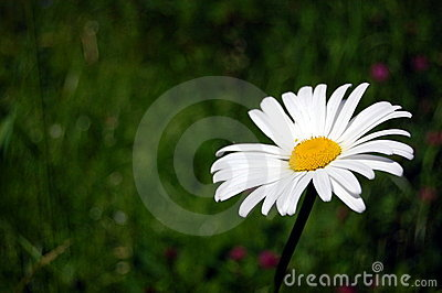 Daisy on a field