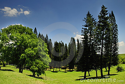 Landscape with pine trees