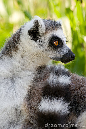 Portrait of a ring tail lemur