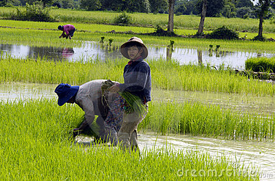 Paddy FIELD  /man-made methane sources