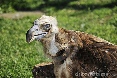 Brown vulture on the ground near