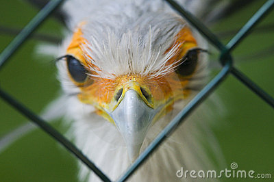 Secretary bird behind fence