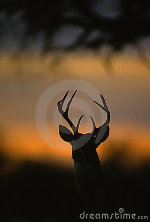 White-tailed Buck Silhouette