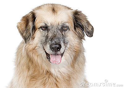 Large Mixed Breed Dog against White Background