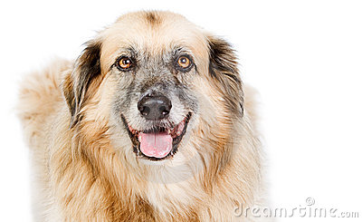Happy Large Crossbreed Dog against White