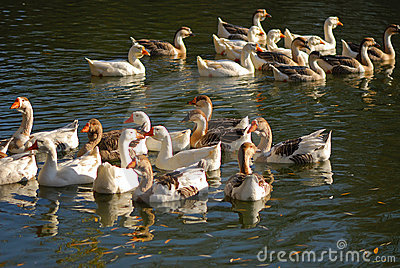 Flight of domestic geese