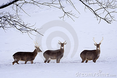 Sika Deers (Cervus nippon) in the snow.