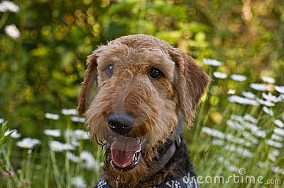 Airedale terrier dog in wildflowers