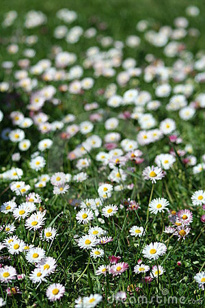Daisy Flowers in the field
