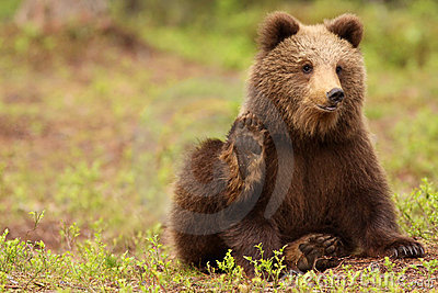 Cute little brown bear looking and waving at you