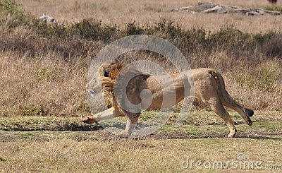 A lion kill of a grevy zebra 1