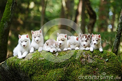 Troop of husky puppies