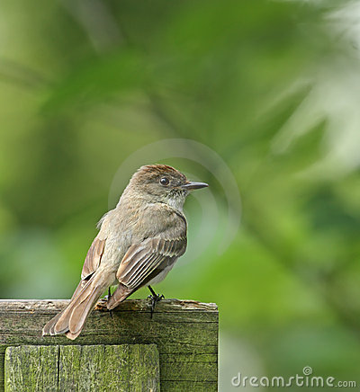 Willow Flycatcher (Empidonax trallii)