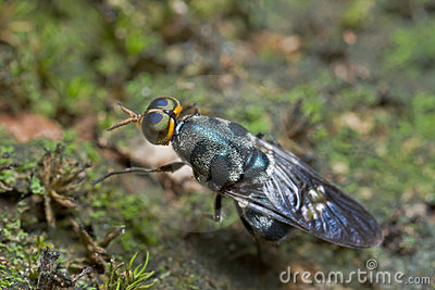 An iridiscent blue soldier fly