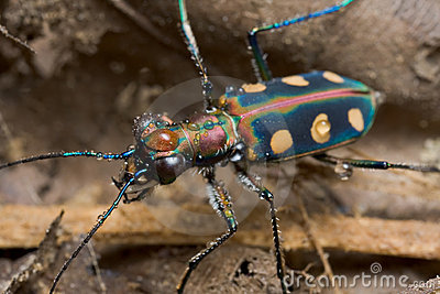 A greenish tiger beetle