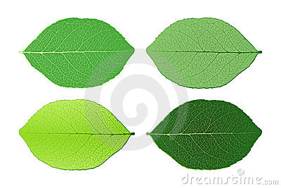 Four leafs isolated on white background