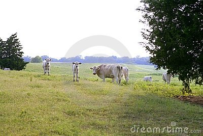 Cow cattle on american green grass