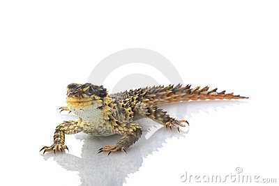 Giant Girdled Lizard