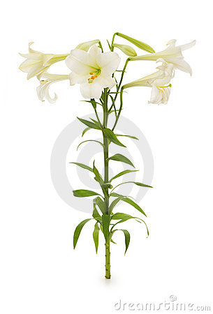 Lilies isolated
