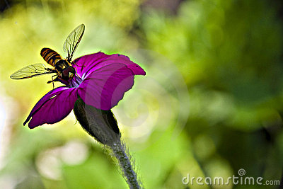 A wasp on a pink flower