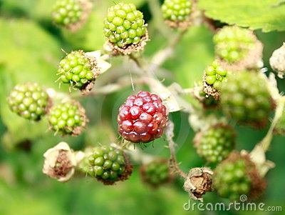 BLACKBERRY BUSH WITH RED BERRY