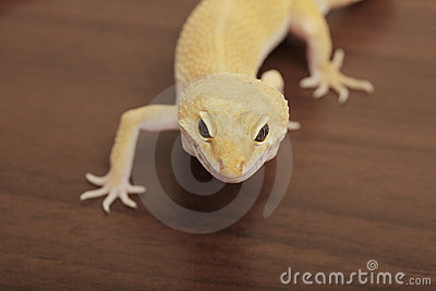 Orange gecko crawling