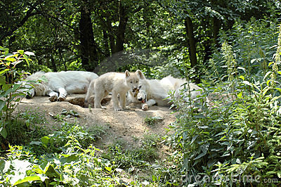 Wolf's  family.