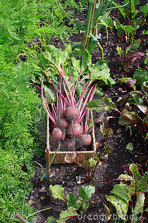 Beetroot in Vegetable Patch