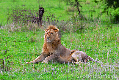 Male lion in Serengeti Plain