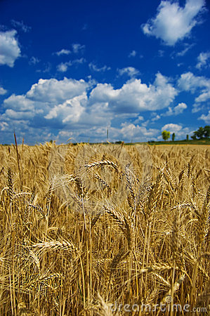 Golden wheat in farm field