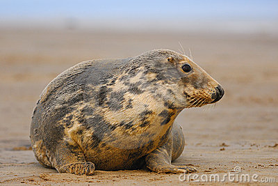 Female Grey Seal at Donna Nook
