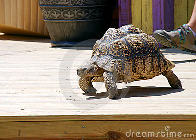 Slow Tortoise on a Patio