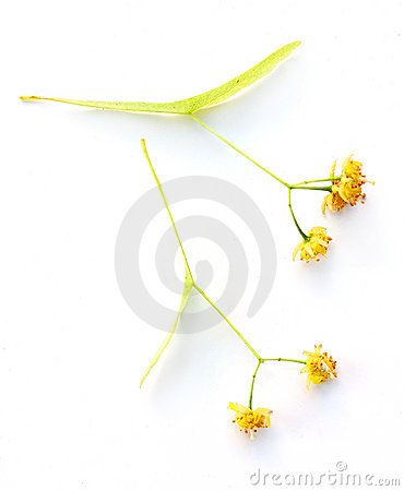 Small-leaved Linden-dried flower