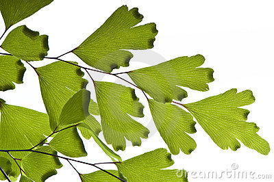 Maidenhair macro