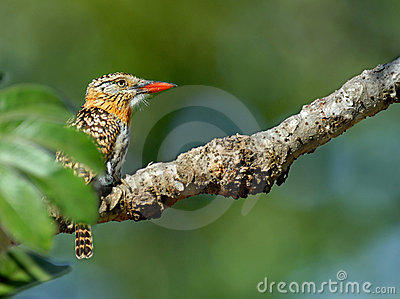 Spot backed puffbird