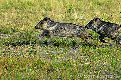 Collared peccaries leaping