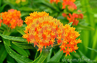 Butterfly Weed (Asclepias tuberosa) Milkweed