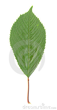 Cherry Tree Leaf isolated