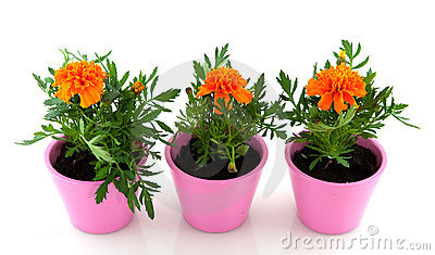 Cheerful orange tagetes