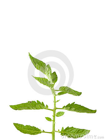 Tomato Plant Leaves