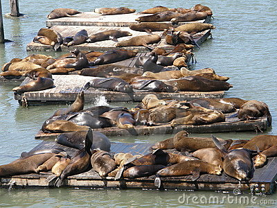 Sea Lions at Fisherman's Wharf in San Francisco
