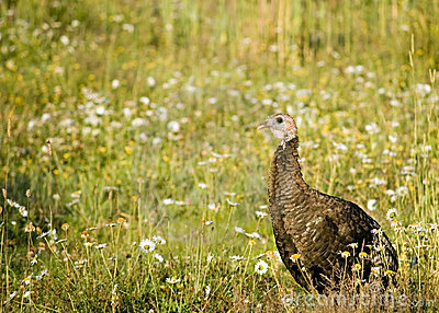 Female Wild Turkey