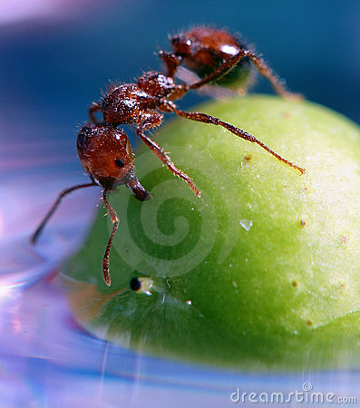 Close up of Ant on a berry