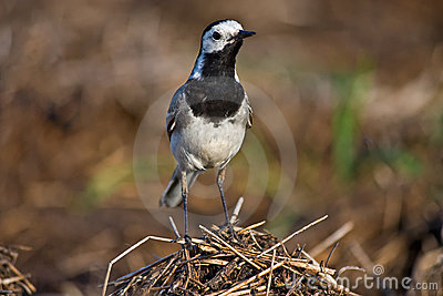 Wagtail standing
